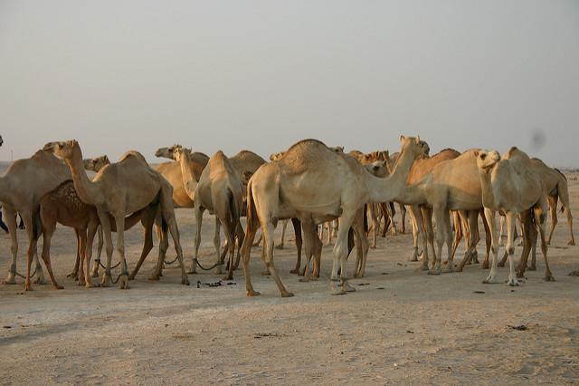Targ wielbłądów w Indiach